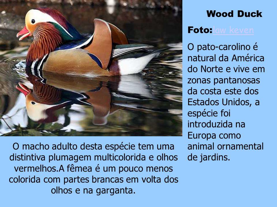 Wood Duck Foto:law keven.