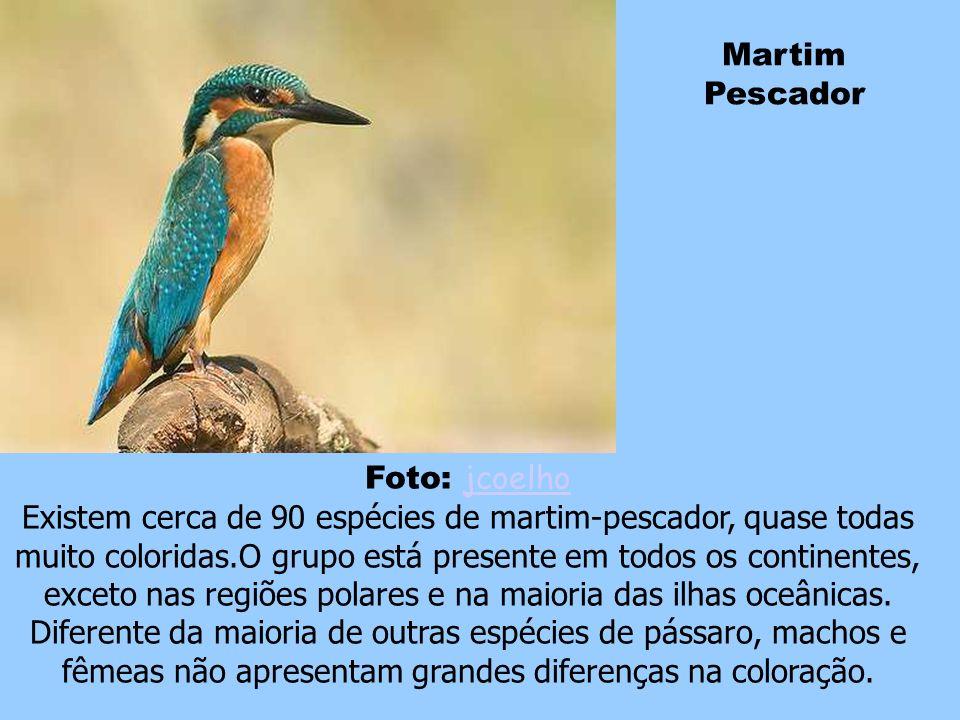 Martim Pescador Foto: jcoelho.