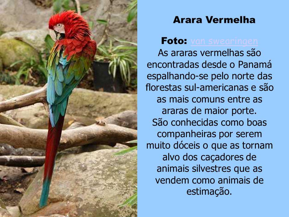 Arara Vermelha Foto: van swearingen.
