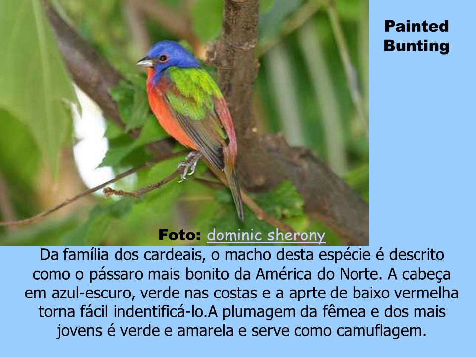 Painted Bunting Foto: dominic sherony.