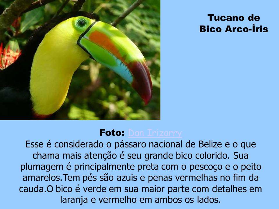 Tucano de Bico Arco-Íris