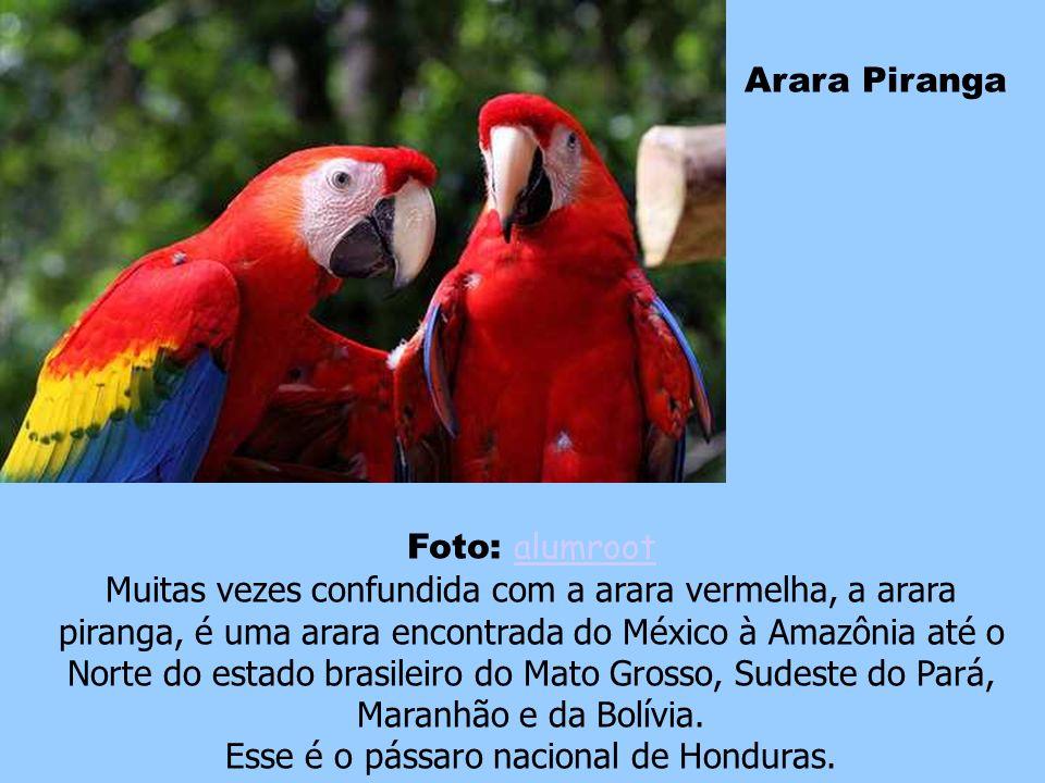 Arara Piranga Foto: alumroot.