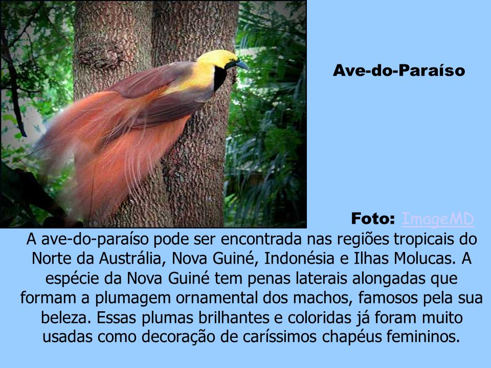 Ave-do-Paraíso Foto: ImageMD.