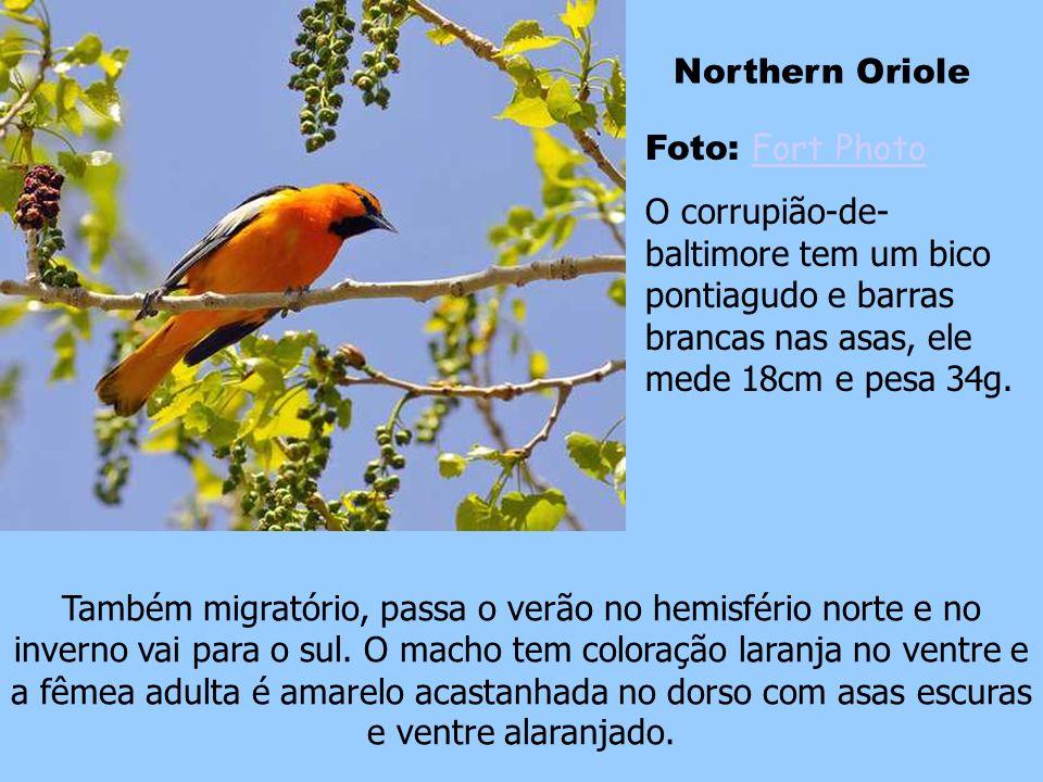 Northern Oriole Foto: Fort Photo. O corrupião-de-baltimore tem um bico pontiagudo e barras brancas nas asas, ele mede 18cm e pesa 34g.
