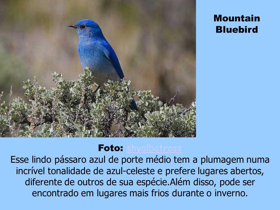 Mountain Bluebird Foto: shyalbatross.