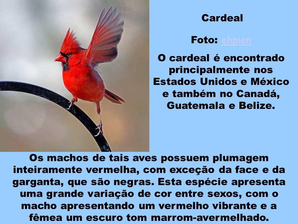Cardeal Foto: ehpien. O cardeal é encontrado principalmente nos Estados Unidos e México e também no Canadá, Guatemala e Belize.