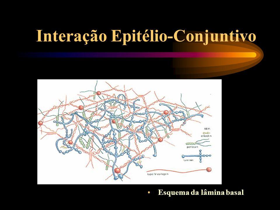 Interação Epitélio-Conjuntivo