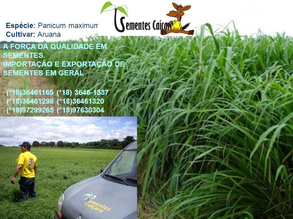 Espécie: Panicum maximum Cultivar: Aruana