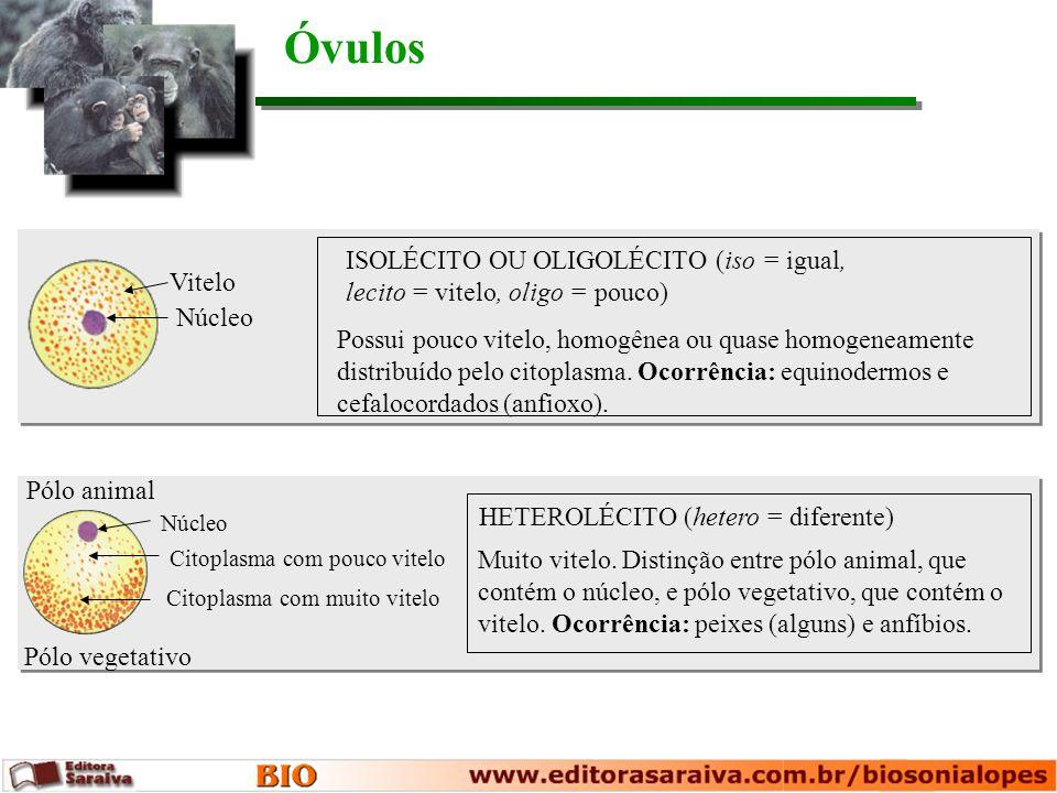 Óvulos ISOLÉCITO OU OLIGOLÉCITO (iso = igual, lecito = vitelo, oligo = pouco) Vitelo. Núcleo.