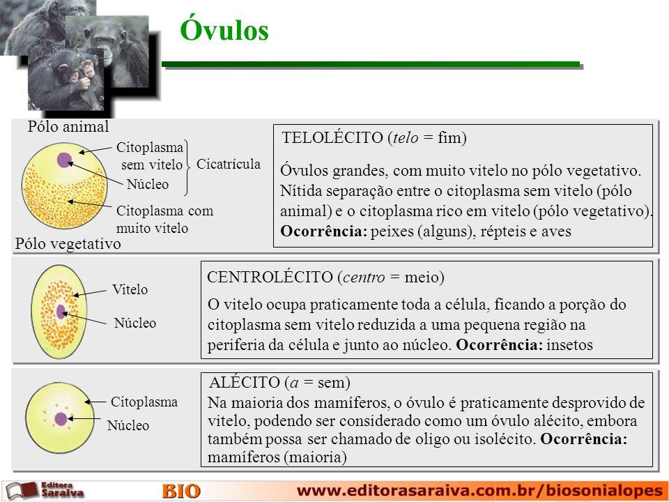 Óvulos Pólo animal TELOLÉCITO (telo = fim)