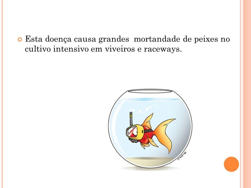 Esta doença causa grandes mortandade de peixes no cultivo intensivo em viveiros e raceways.