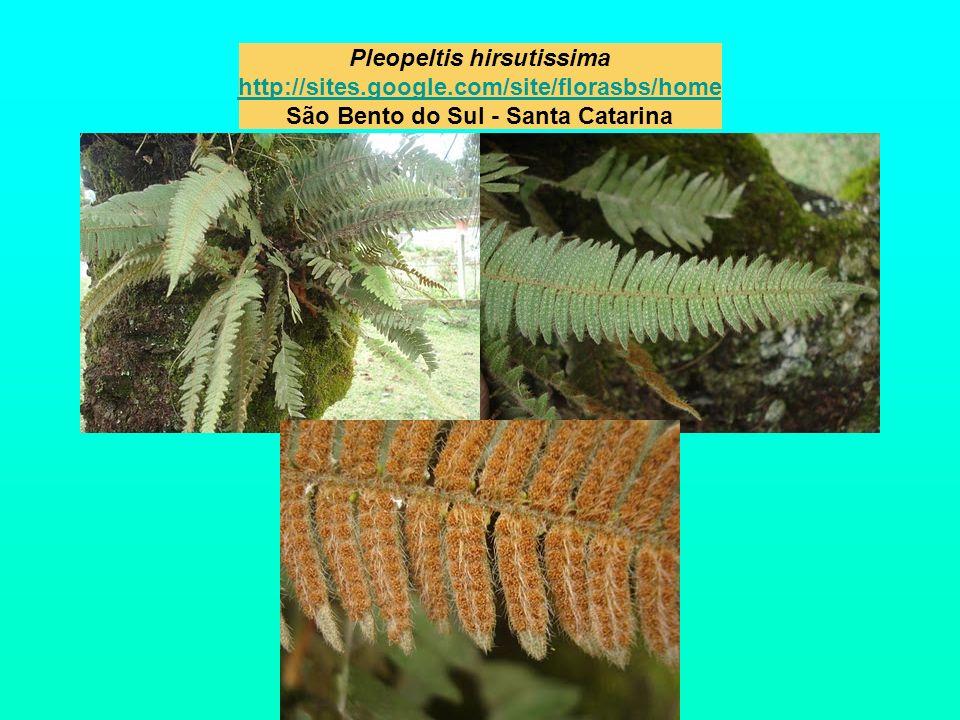 Pleopeltis hirsutissima http://sites. google