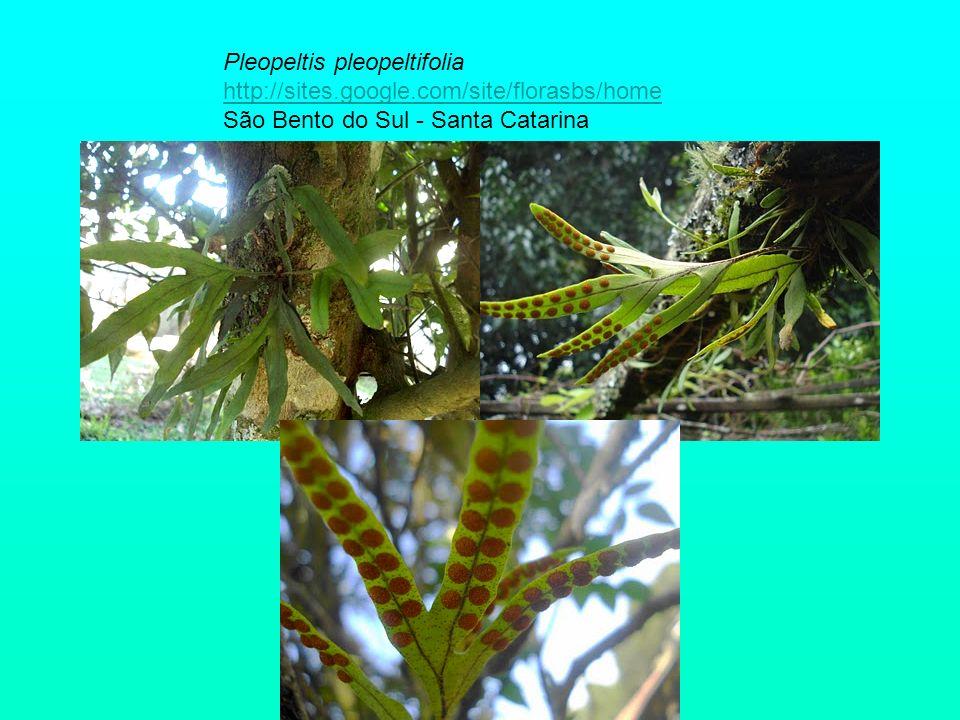 Pleopeltis pleopeltifolia http://sites. google