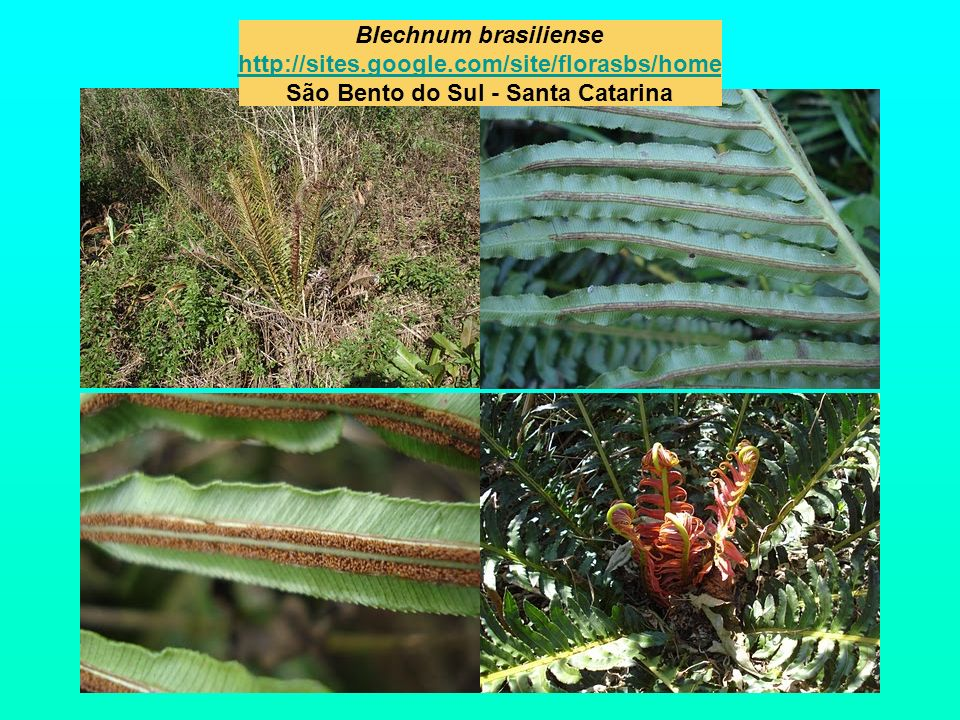 Blechnum brasiliense http://sites. google