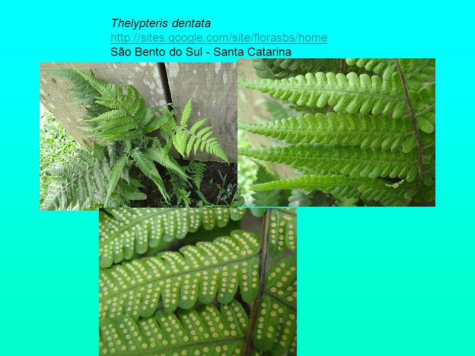 Thelypteris dentata http://sites. google