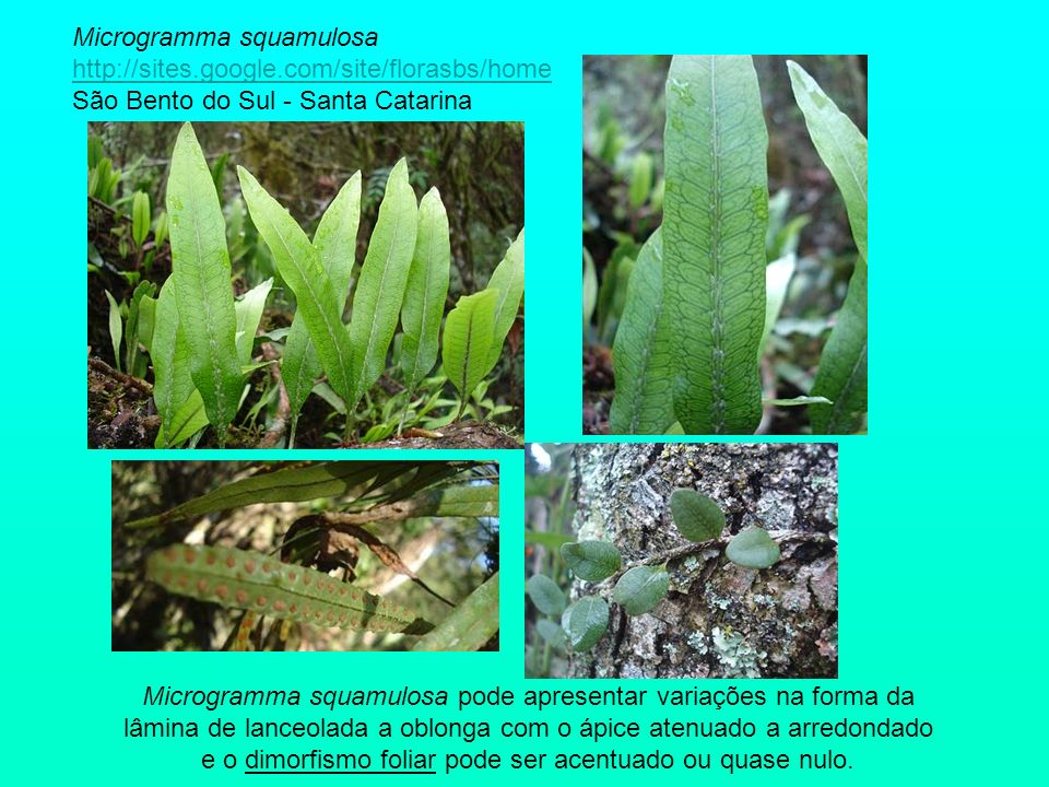 Microgramma squamulosa http://sites. google