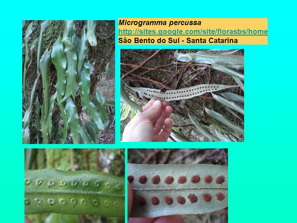 Microgramma percussa http://sites. google