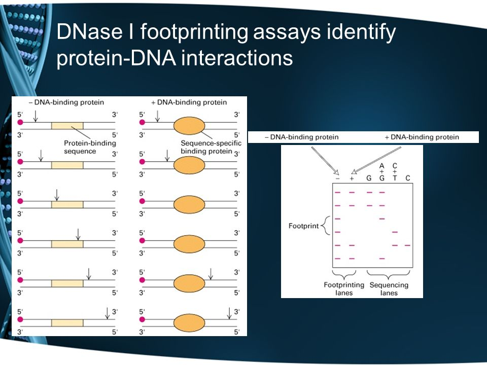 DNase I footprinting assays identify protein-DNA interactions