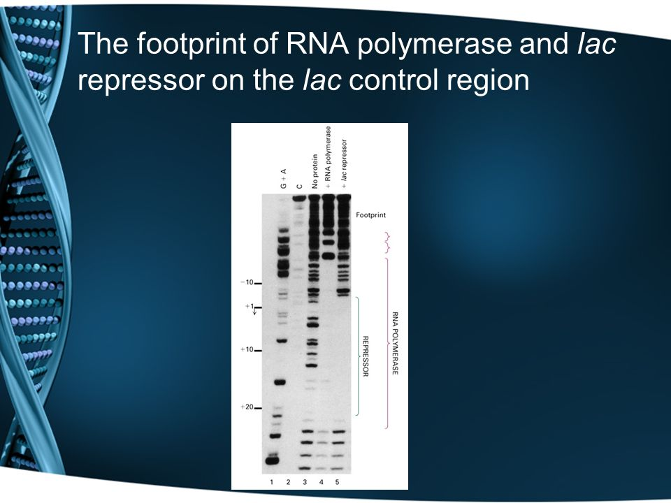 The footprint of RNA polymerase and lac repressor on the lac control region