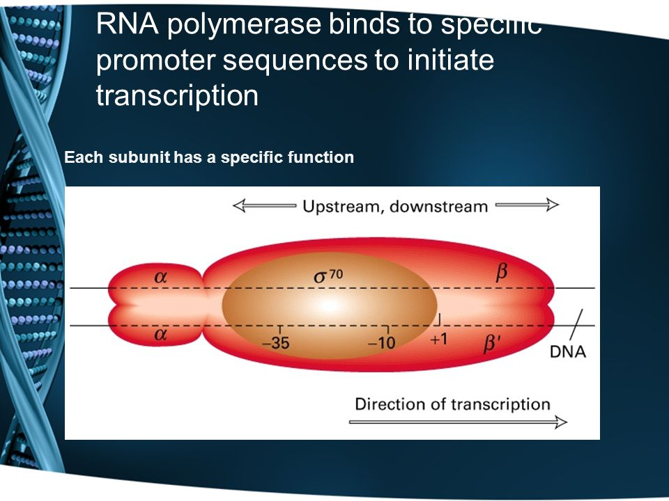RNA polymerase binds to specific promoter sequences to initiate transcription