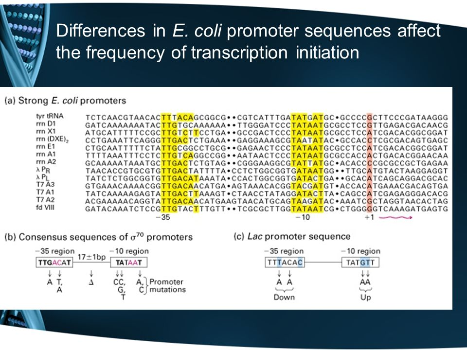 Differences in E. coli promoter sequences affect the frequency of transcription initiation