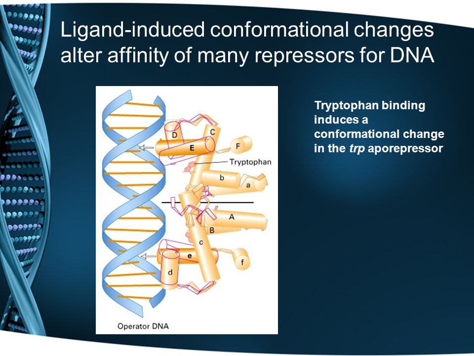 Ligand-induced conformational changes alter affinity of many repressors for DNA