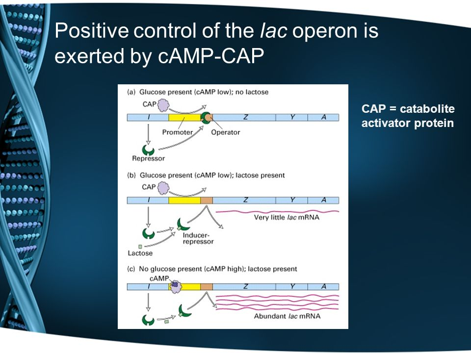 Positive control of the lac operon is exerted by cAMP-CAP