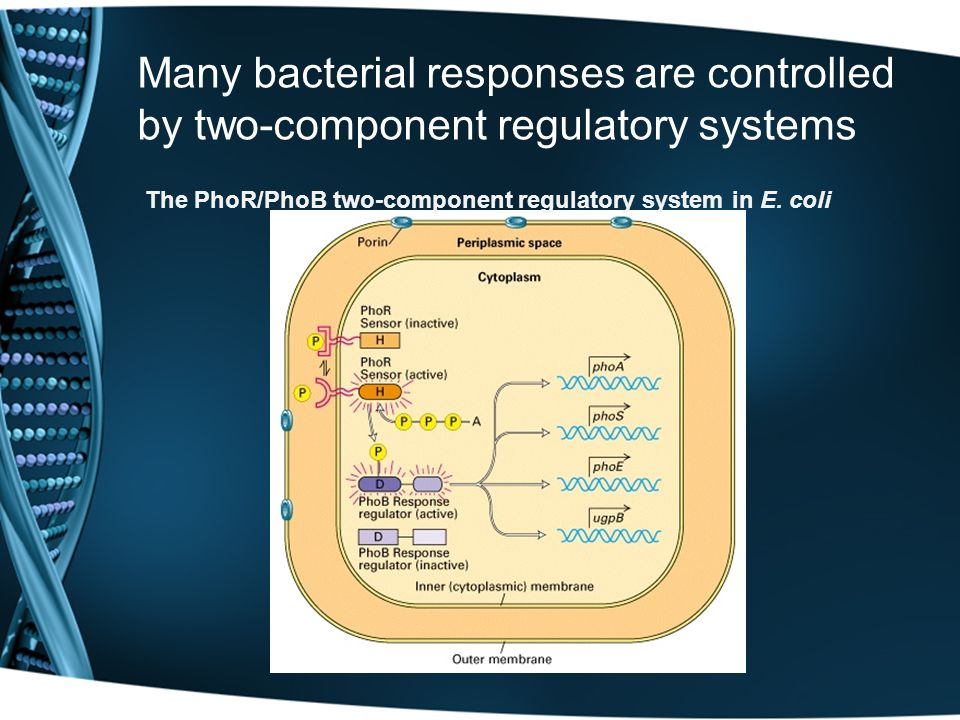 Many bacterial responses are controlled by two-component regulatory systems