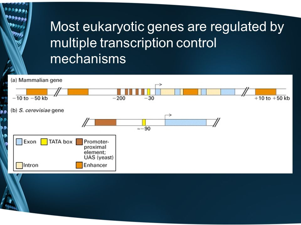 Most eukaryotic genes are regulated by multiple transcription control mechanisms