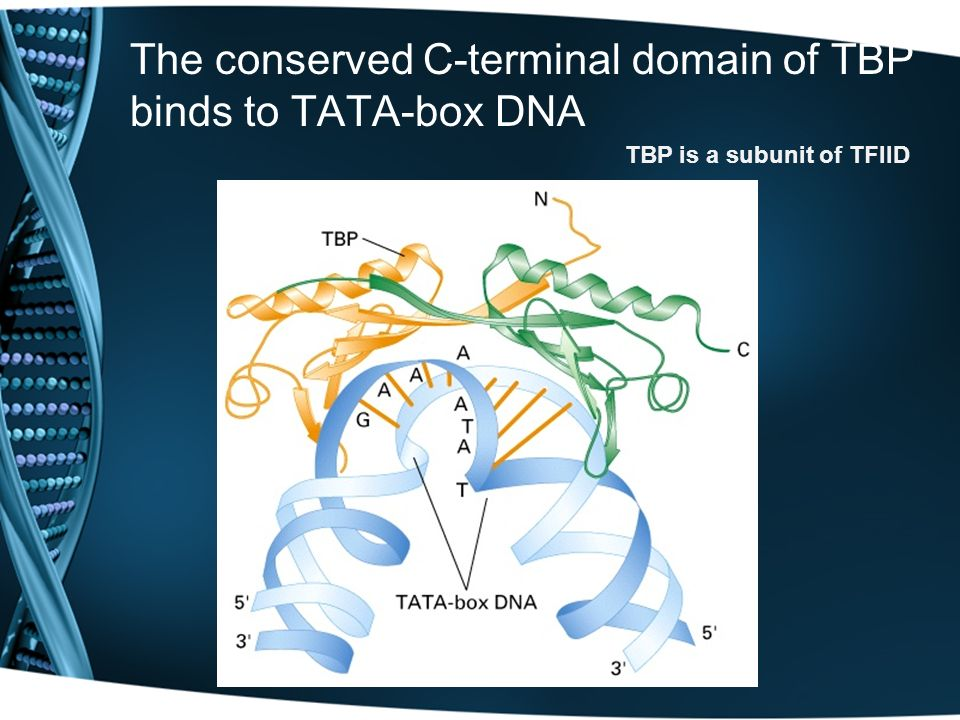 The conserved C-terminal domain of TBP binds to TATA-box DNA