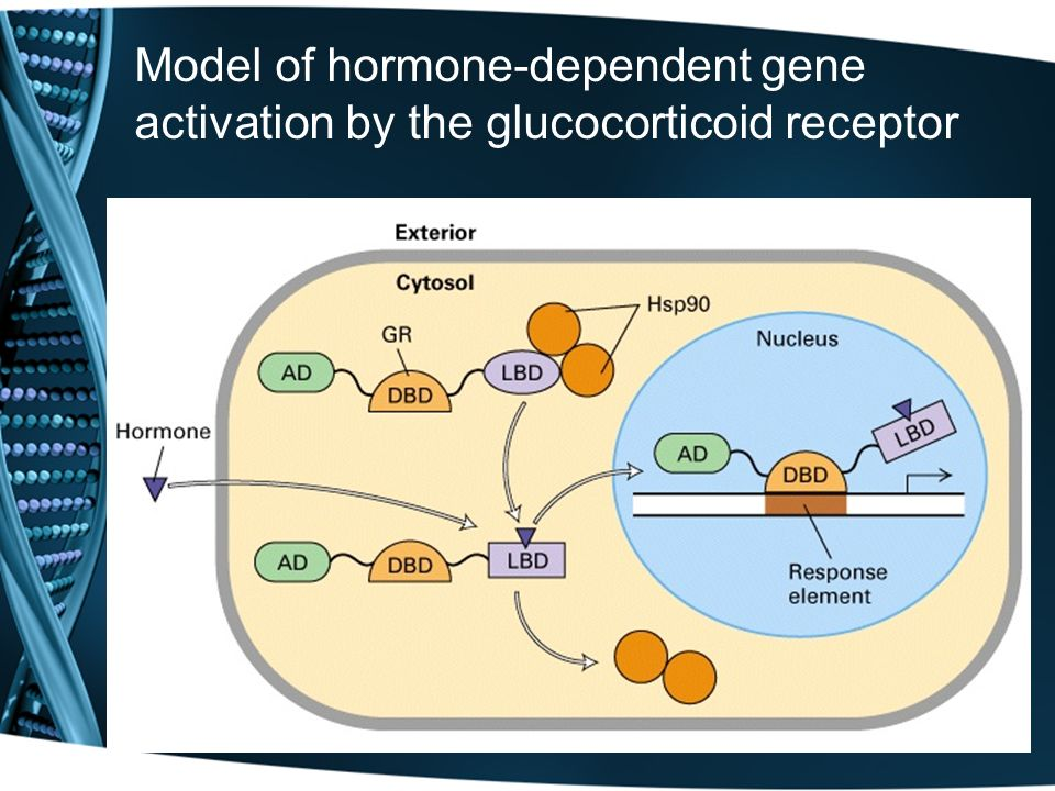 Model of hormone-dependent gene activation by the glucocorticoid receptor