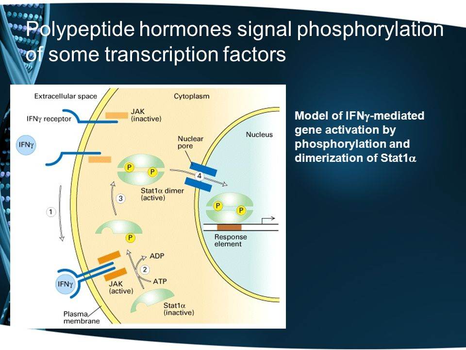 Polypeptide hormones signal phosphorylation of some transcription factors