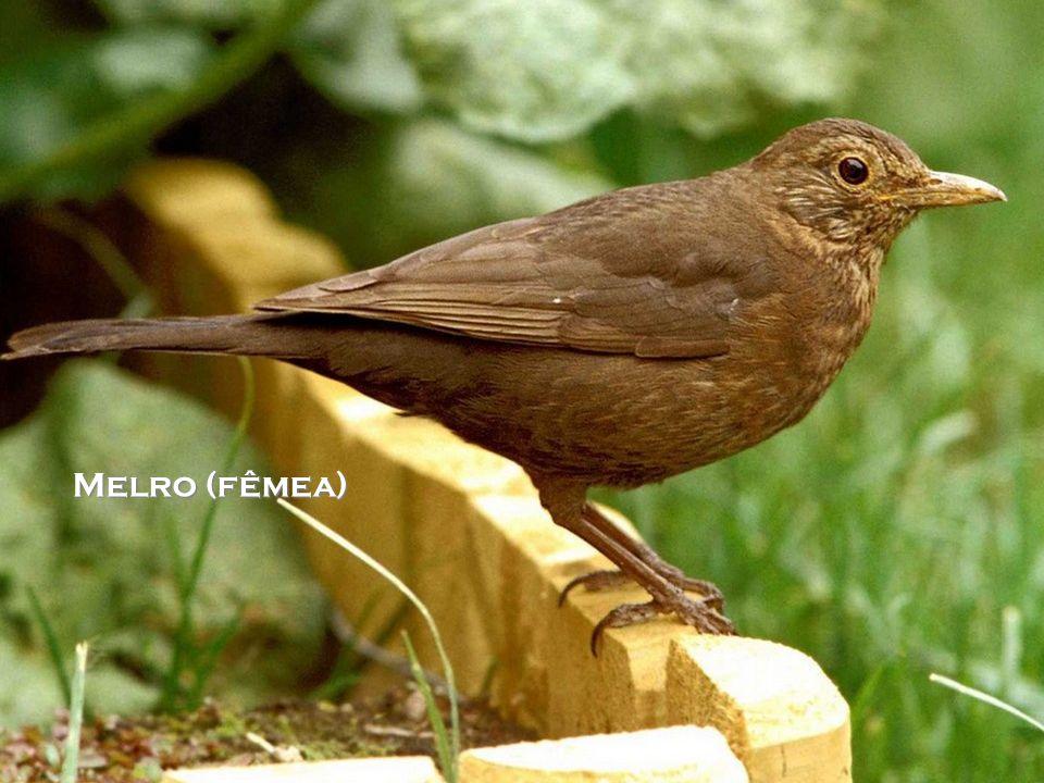 Melro (fêmea)