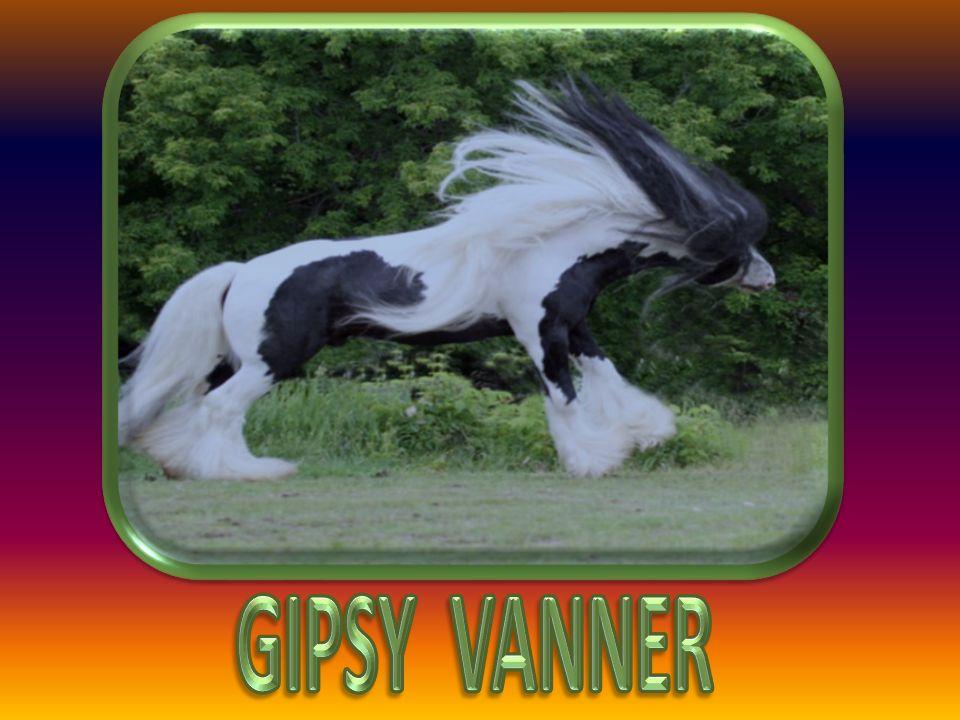 GIPSY VANNER