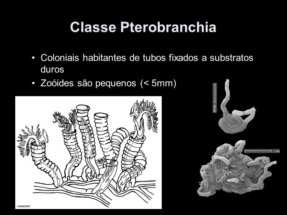 Classe Pterobranchia Coloniais habitantes de tubos fixados a substratos duros.