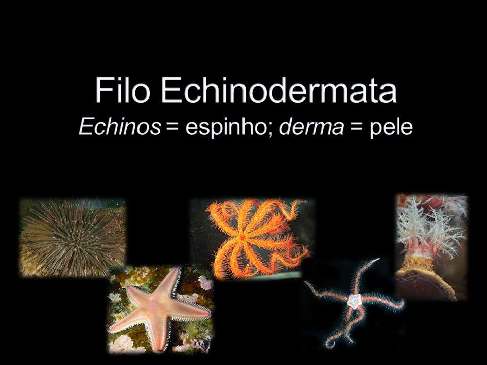Filo Echinodermata Echinos = espinho; derma = pele