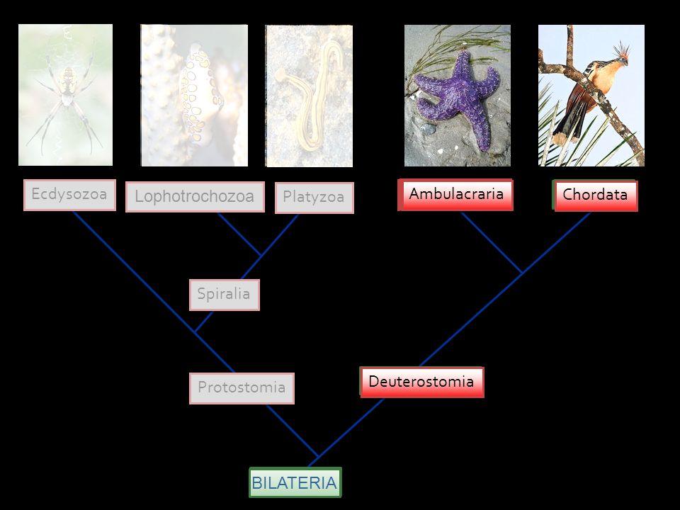 Ecdysozoa Lophotrochozoa. Platyzoa. Ambulacraria. Ambulacraria. Ambulacraria. Chordata. Chordata.