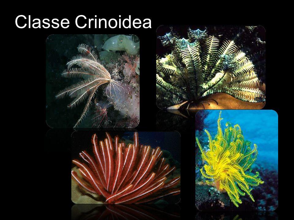 Classe Crinoidea