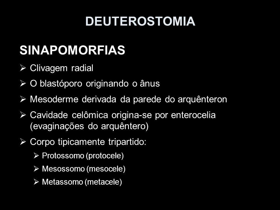 DEUTEROSTOMIA SINAPOMORFIAS Clivagem radial