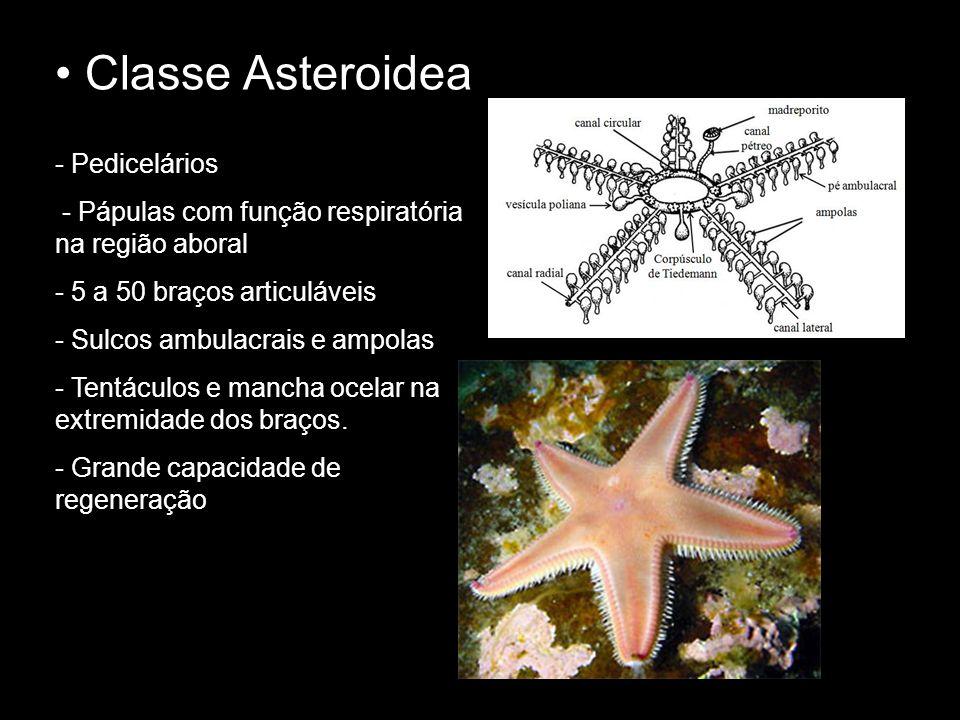 Classe Asteroidea Pedicelários