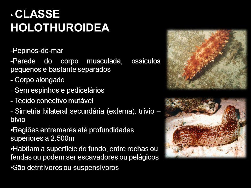 CLASSE HOLOTHUROIDEA Pepinos-do-mar. Parede do corpo musculada, ossículos pequenos e bastante separados.