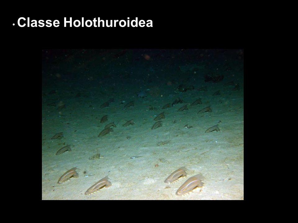 Classe Holothuroidea