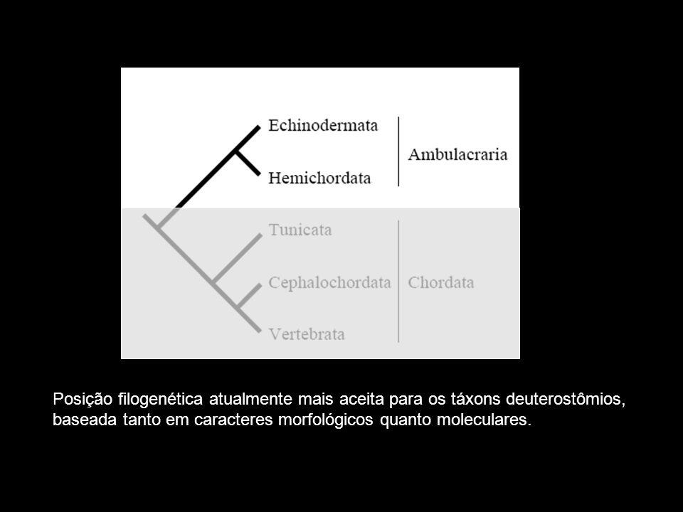 Posição filogenética atualmente mais aceita para os táxons deuterostômios, baseada tanto em caracteres morfológicos quanto moleculares.