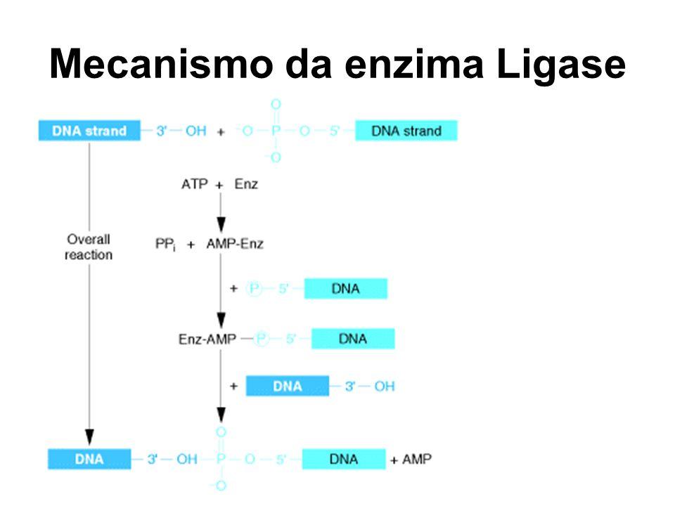 Mecanismo da enzima Ligase