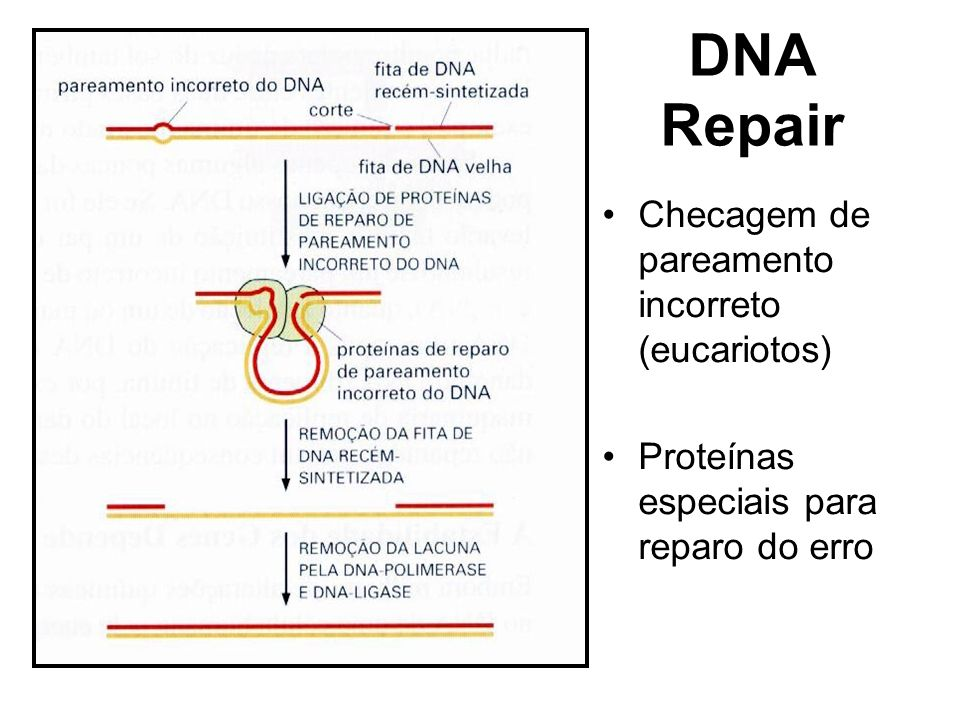 DNA Repair Checagem de pareamento incorreto (eucariotos)