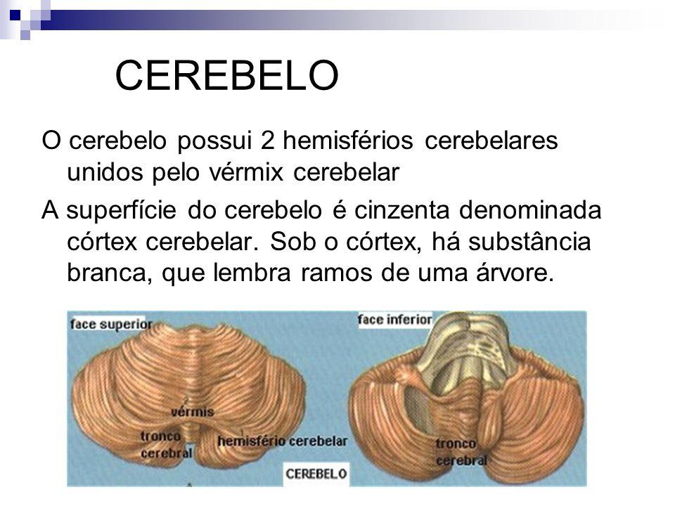 CEREBELO O cerebelo possui 2 hemisférios cerebelares unidos pelo vérmix cerebelar.
