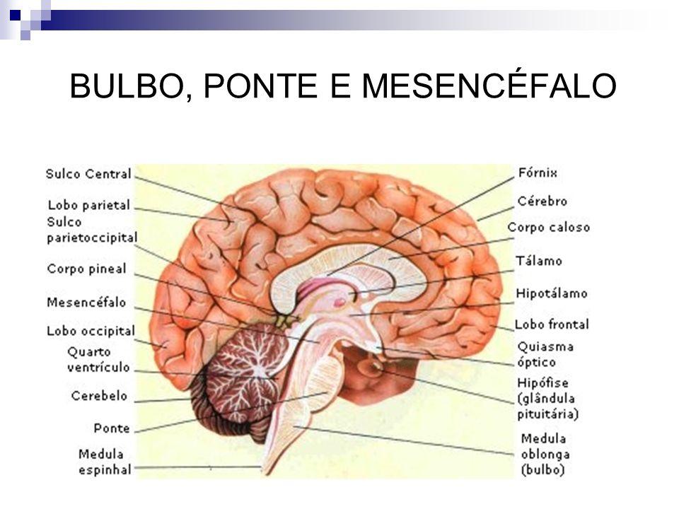 BULBO, PONTE E MESENCÉFALO
