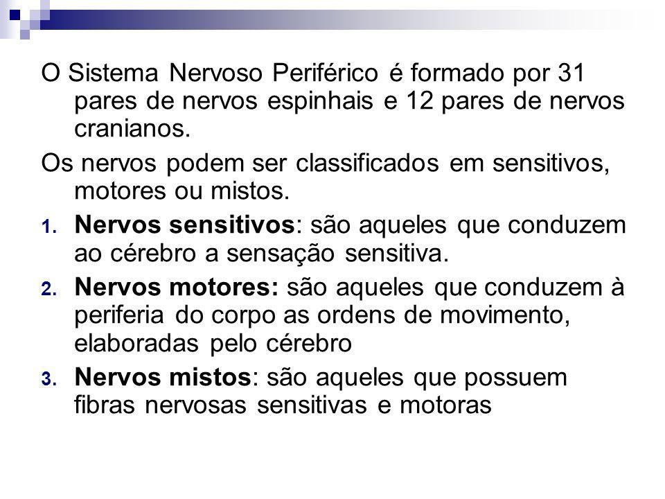 O Sistema Nervoso Periférico é formado por 31 pares de nervos espinhais e 12 pares de nervos cranianos.