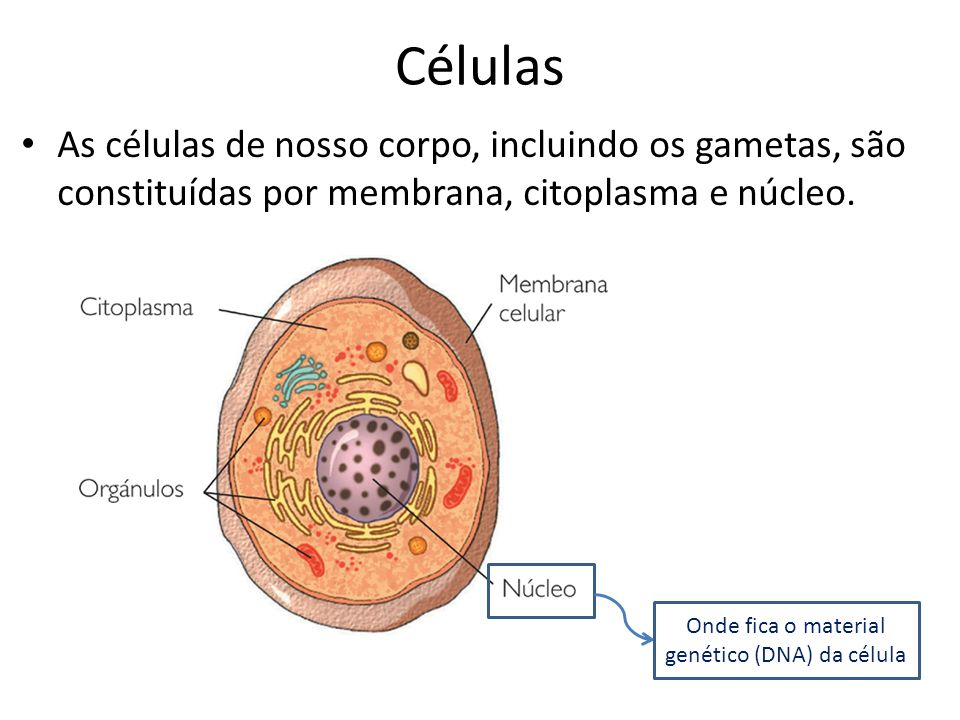 Onde fica o material genético (DNA) da célula