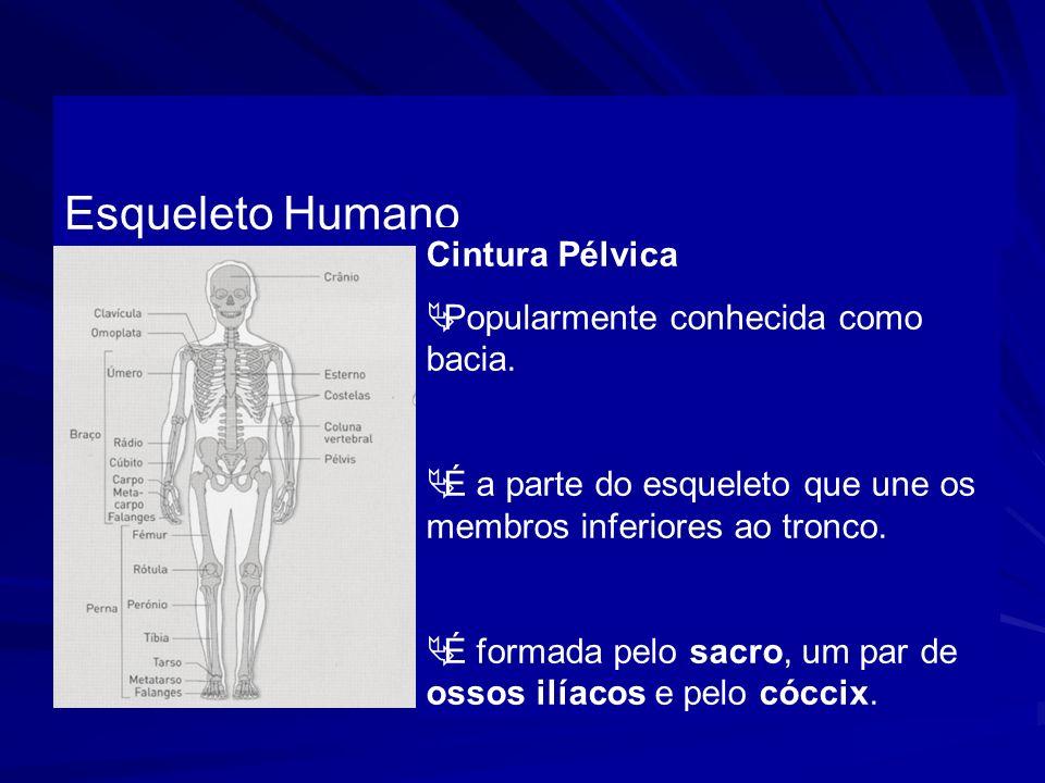 Esqueleto Humano Cintura Pélvica Popularmente conhecida como bacia.